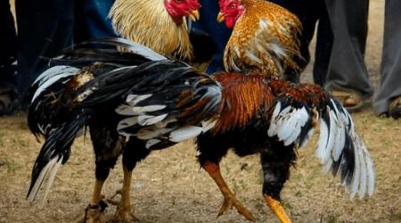 Cockfighting-Tour-Cartagena-Bachelor-Party-6