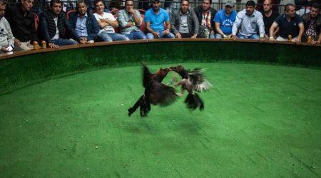 Cockfighting-Tour-Cartagena-Bachelor-Party-8